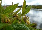 Comfrey Ointment Information
